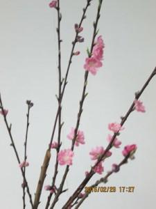 桃の花のクローズアップ