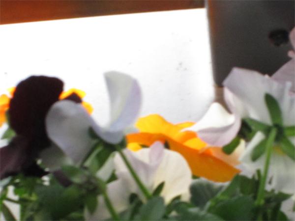 わざわざコンサル先の墨田で購入した 『よく咲くすみれ』は見事満開!!☺