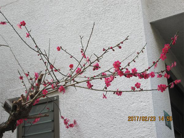 会社のご近所の、玄関先に咲いてた梅も見事!!☺