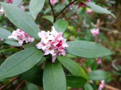 昨年は咲かなかった沈丁花も 今年は花咲かせました~☺ (沈丁花の写真はうまく撮れなかったので、イメージ写真です☺)